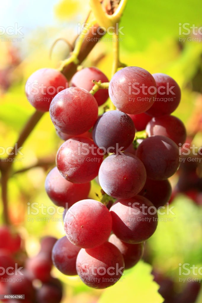 cluster of ripe grapes stock photo