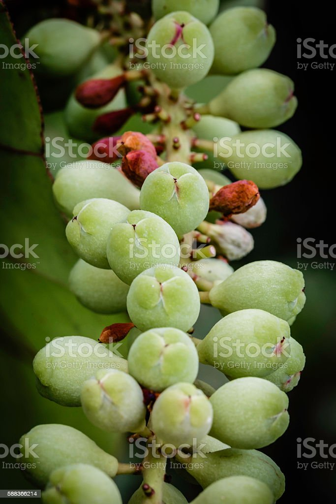 Cluster of sea grapes found in the tropical Islands stock photo