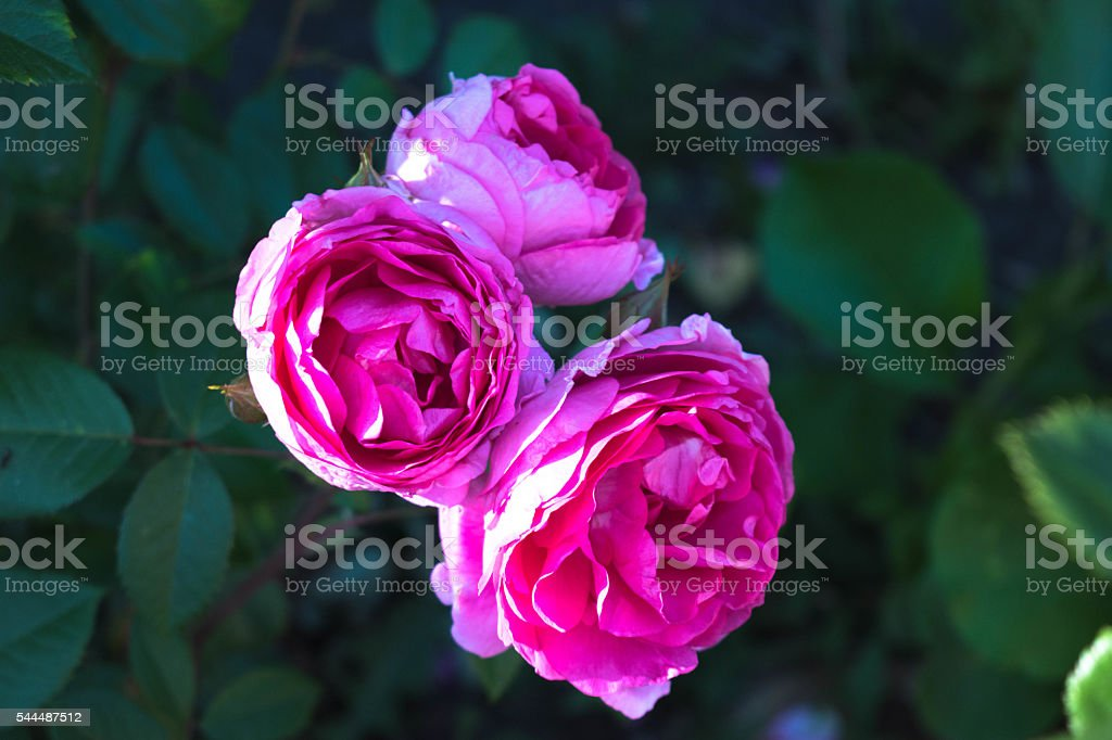Cluster of three large Roses stock photo