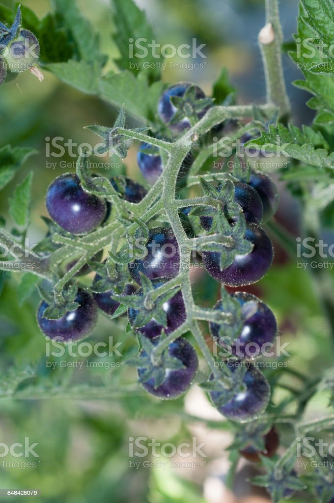 Cluster of tiny heirloom purple blueberry tomatoes on the vine, vertical. stock photo