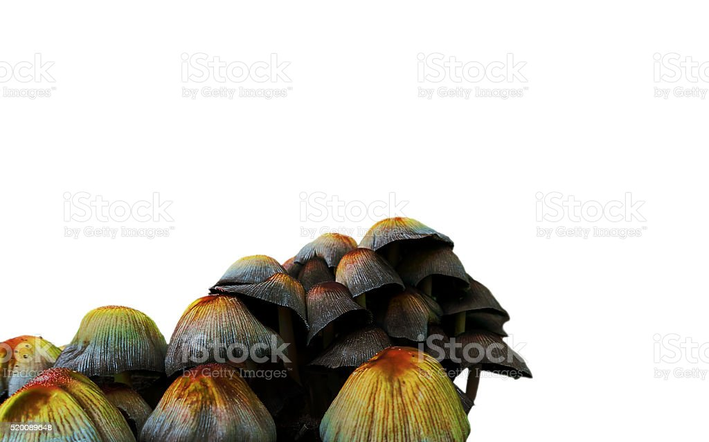 cluster of toadstools mushrooms royalty-free stock photo