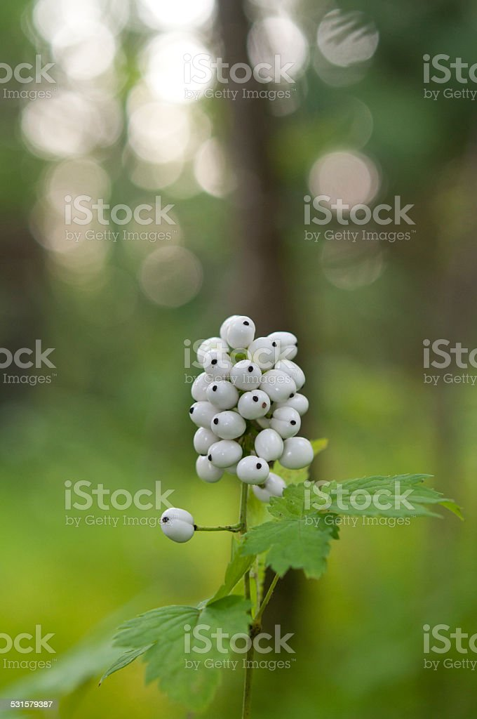 Cluster of white berries macro against the wood. stock photo