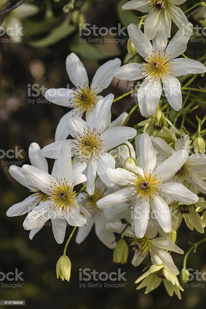 cluster of white clematis flowers stock photo