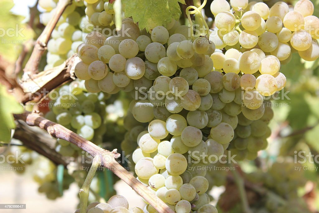 Cluster of White Wine Grapes on Vine 1 of 3 stock photo