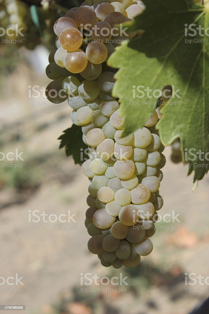 Cluster of White Wine Grapes on Vine 2 of 3 stock photo