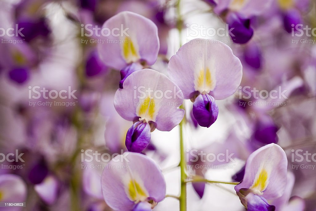 Cluster of wisteria flowers stock photo