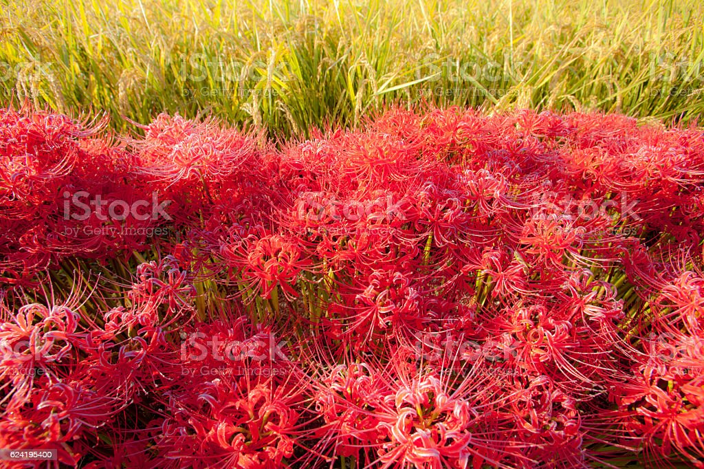 Cluster-amaryllis stock photo