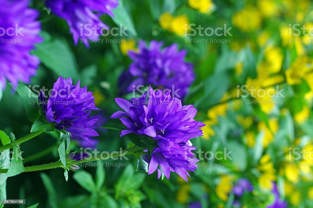 Clustered bellflowers and dotted loosestrife stock photo