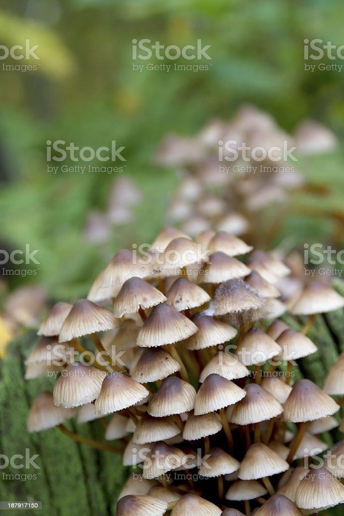 Clustered Bonnet Mushroom (Mycena inclinata) stock photo