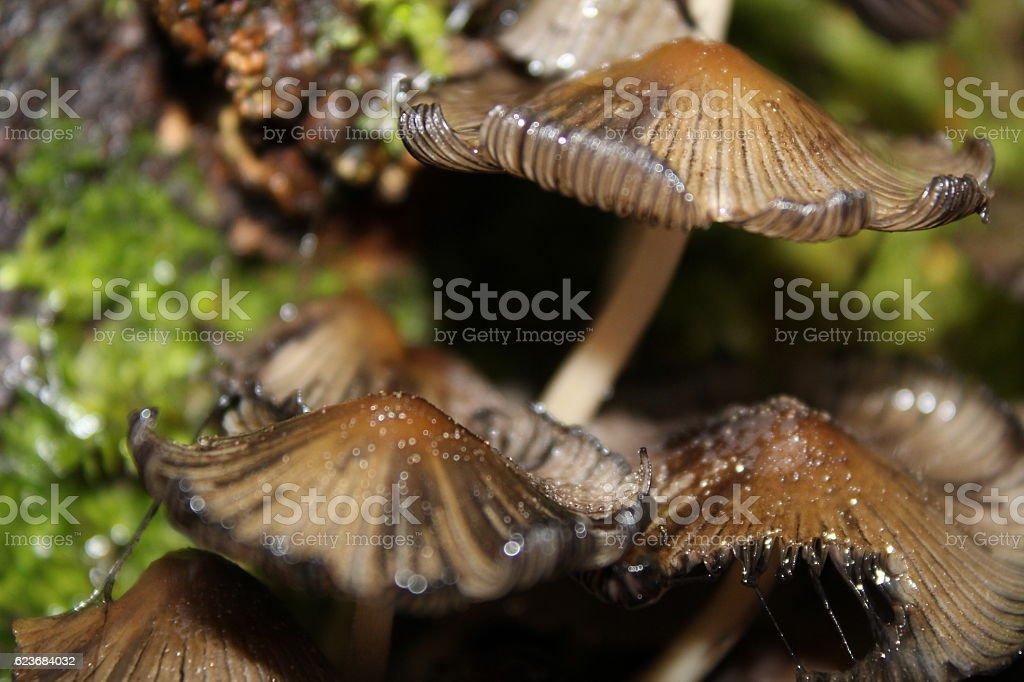 Clustered Bonnet Mushroom (Mycena inclinata) rotting stock photo