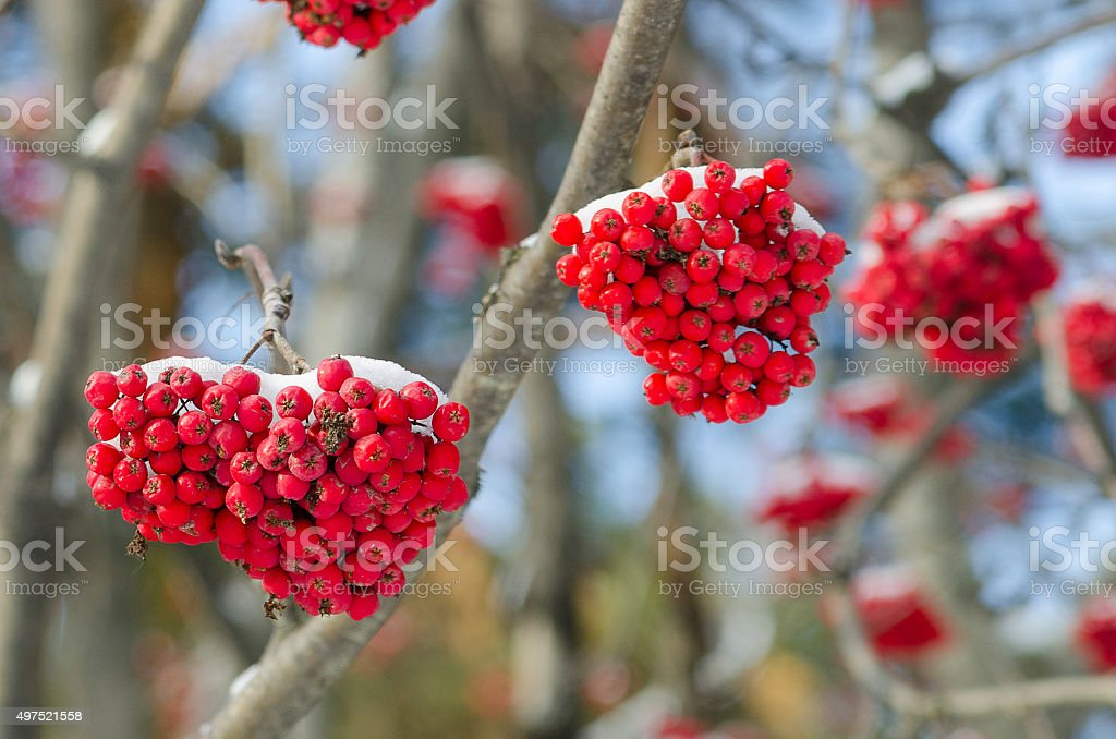 Clusters of a red rowan against the dark blue sky stock photo