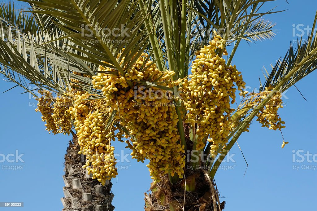 clusters of dates on a palm royalty-free stock photo