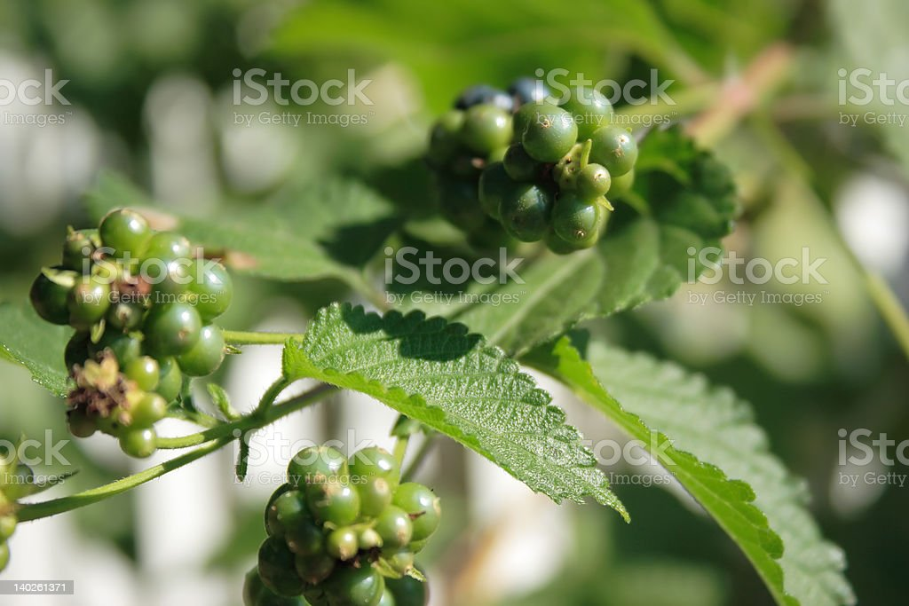 Clusters of Green Berries royalty-free stock photo