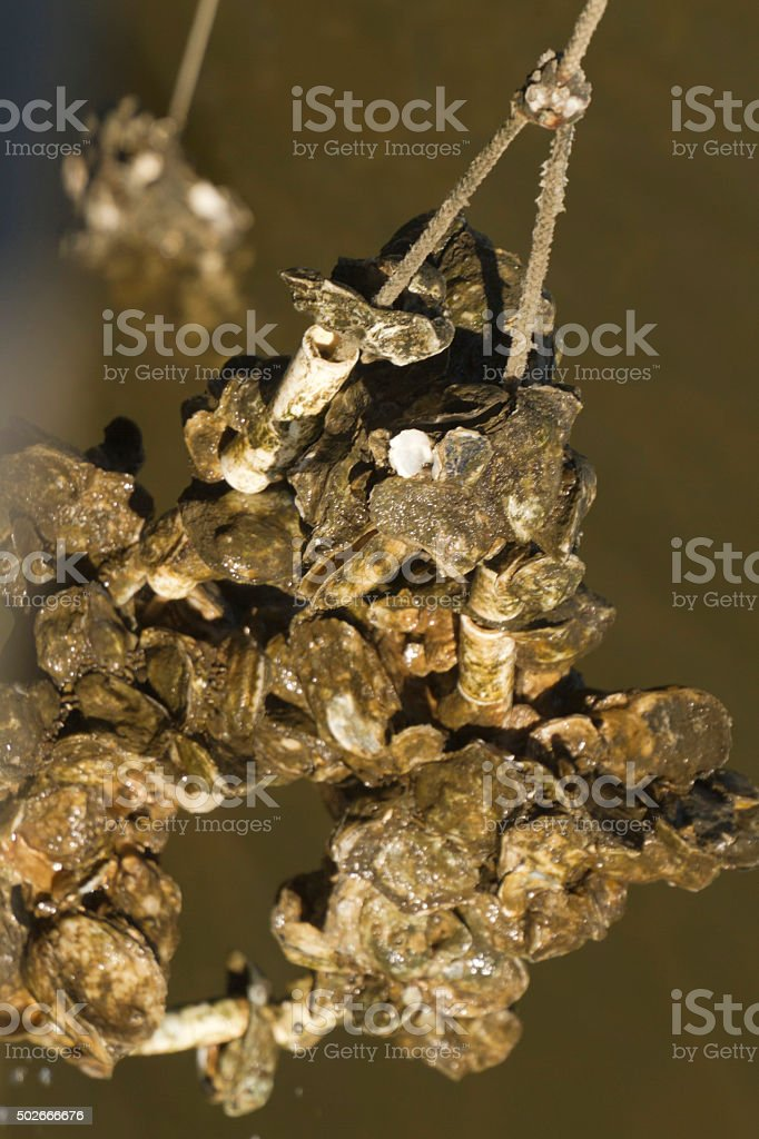 Clusters of Oysters Grown on Lines stock photo