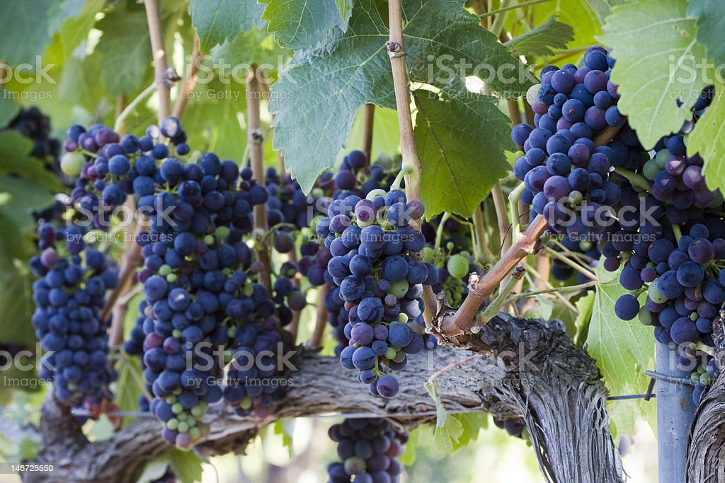 clusters of red grapes hanging on vine stock photo
