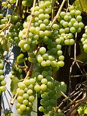 clusters of white grapes