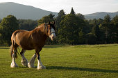 Clydesdale Carthorse