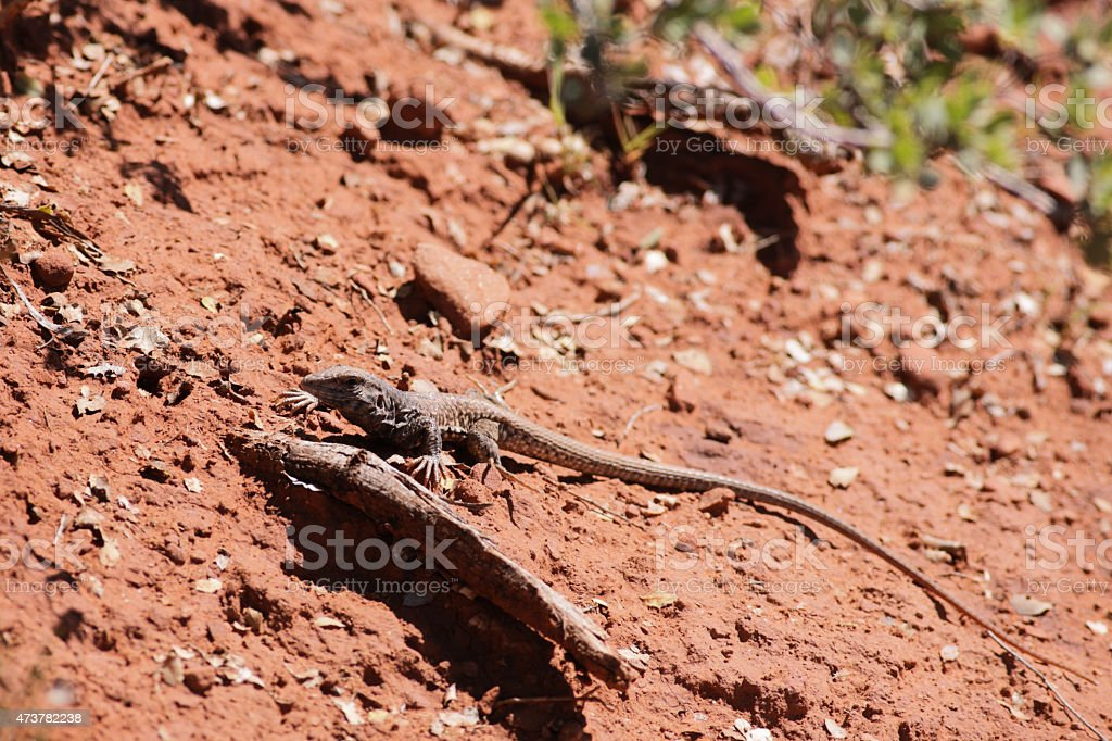 Cnemidophorus Teiidae Whiptail Lizard Racerunner Reptile stock photo