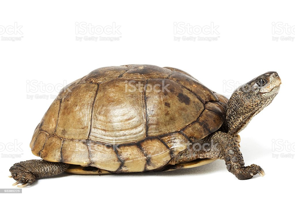 Coahuilan Box Turtle royalty-free stock photo