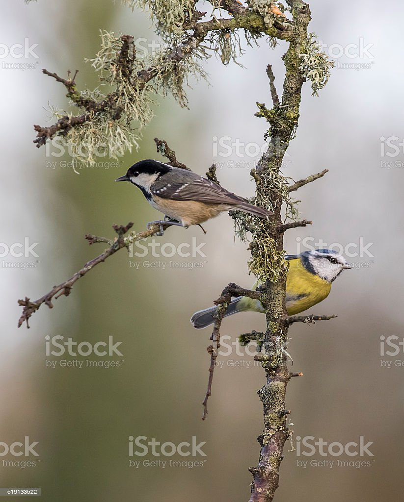 coal tit ant blue tit on branch stock photo