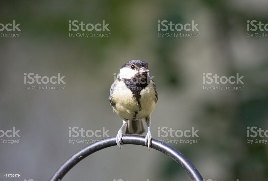 Coal Tit in Kent, England royalty-free stock photo