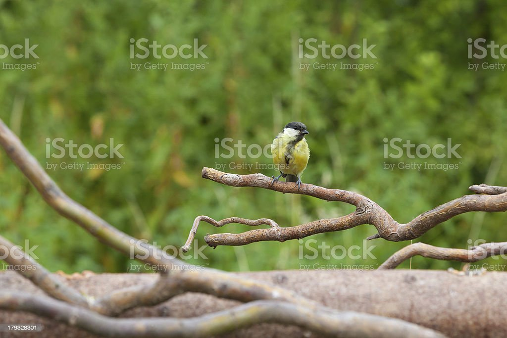 Coal tit, mees royalty-free stock photo