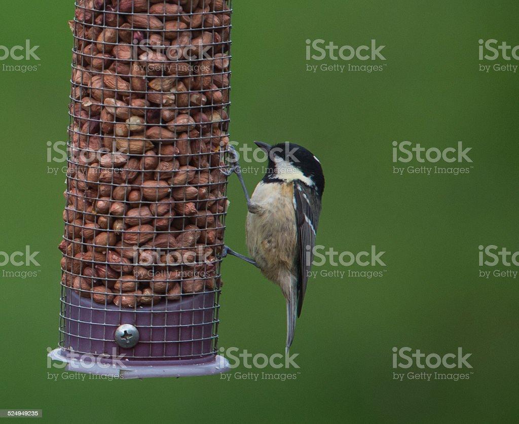 Coal tit on bird feeder royalty-free stock photo