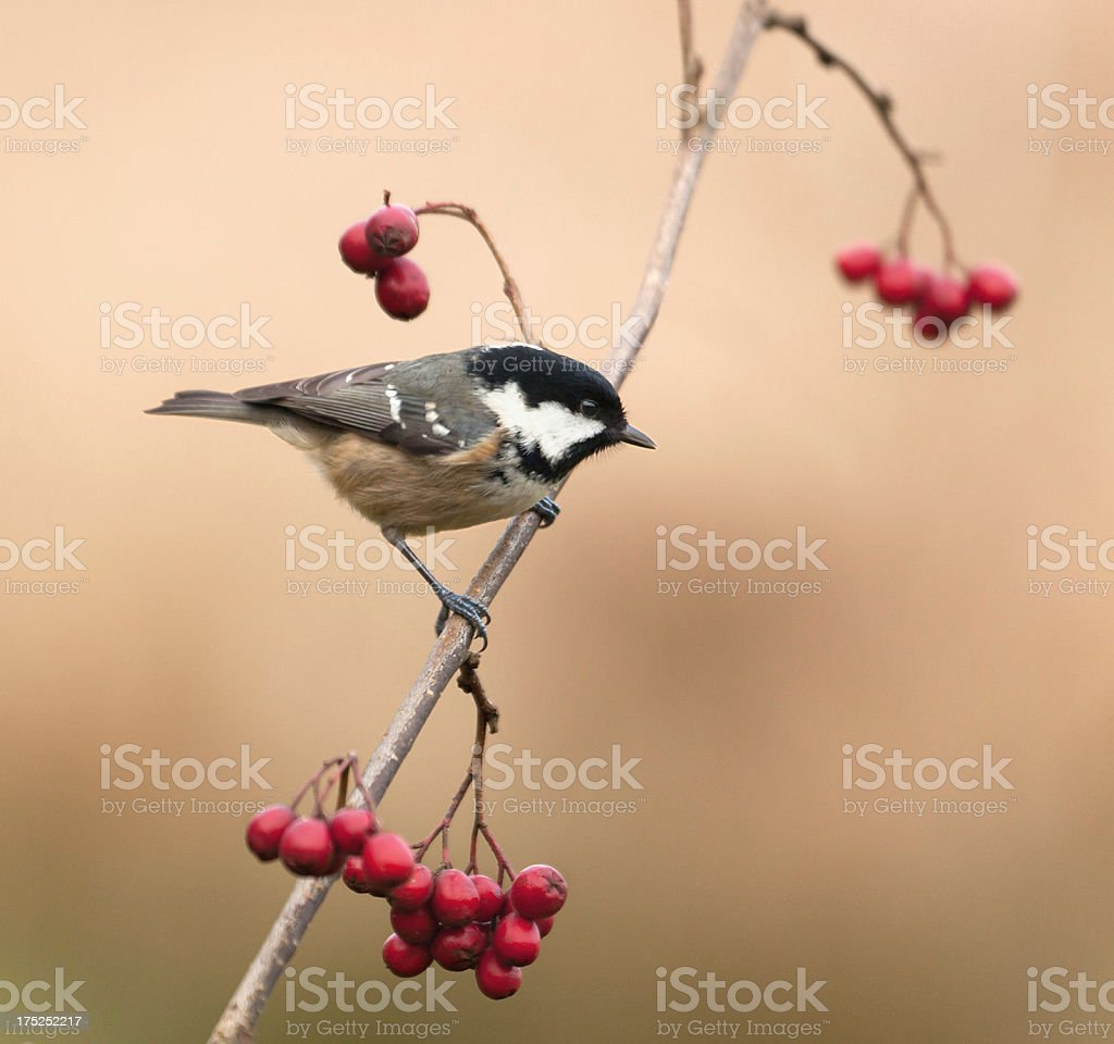 Coal Tit, Periparus ater, fka Parus_ater; hawthorn berries on twig royalty-free stock photo