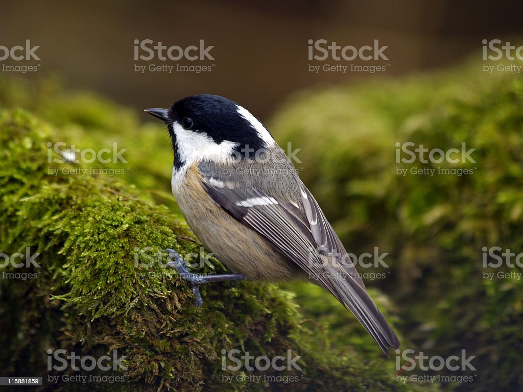 Coal Tit  (Parus ater) royalty-free stock photo