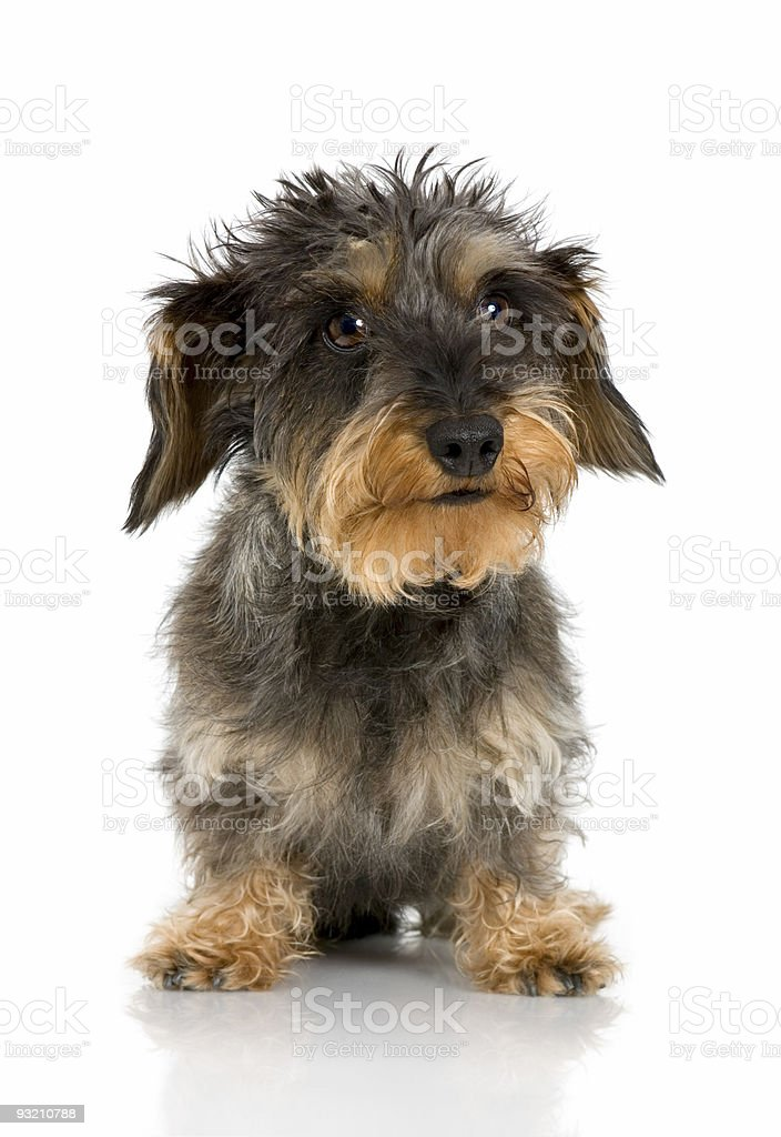 Coarse haired Dachshund (3 years) royalty-free stock photo