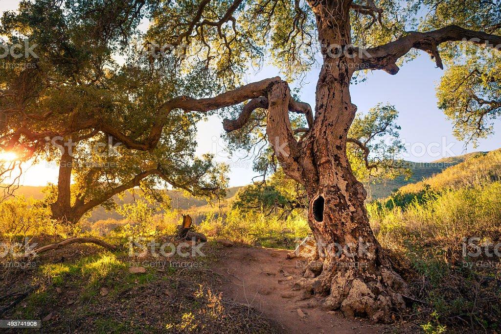 Coast Live Oak Tree, Santa Monica Mointains stock photo