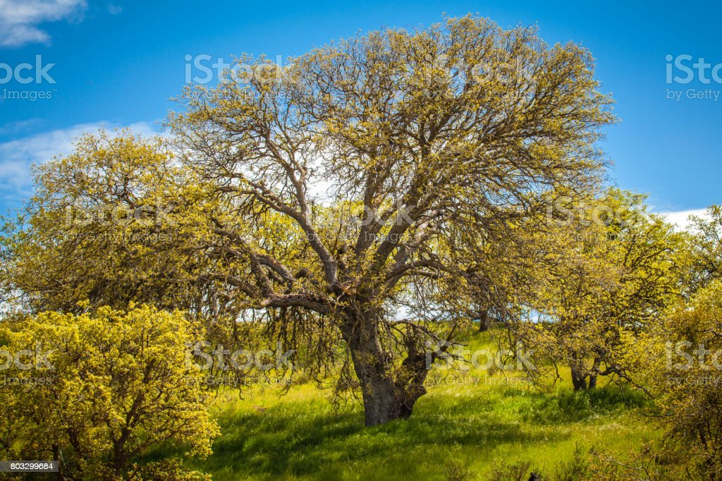 Coast Live Oaks On Grassy Hillside, Temblor Range stock photo