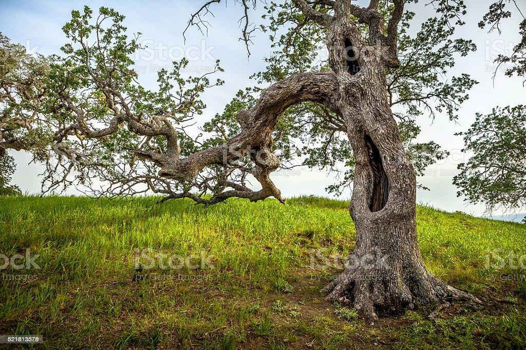 Coast Live-Oak Tree, Los Padres National Forest, California stock photo