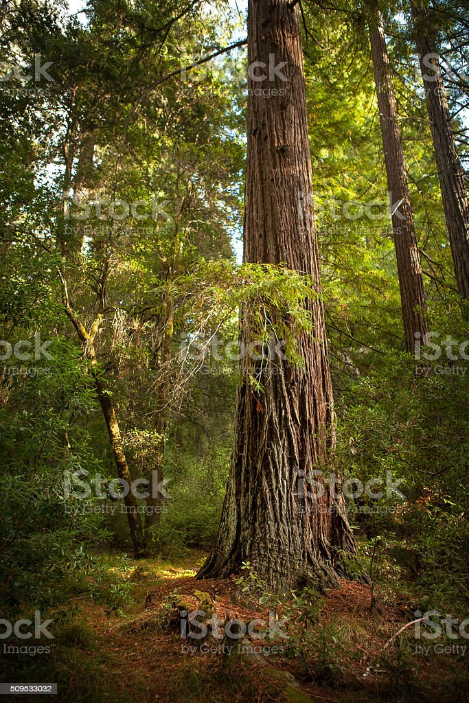 Coast Redwood (Sequoia sempervirens), Big Basin State Park royalty-free stock photo