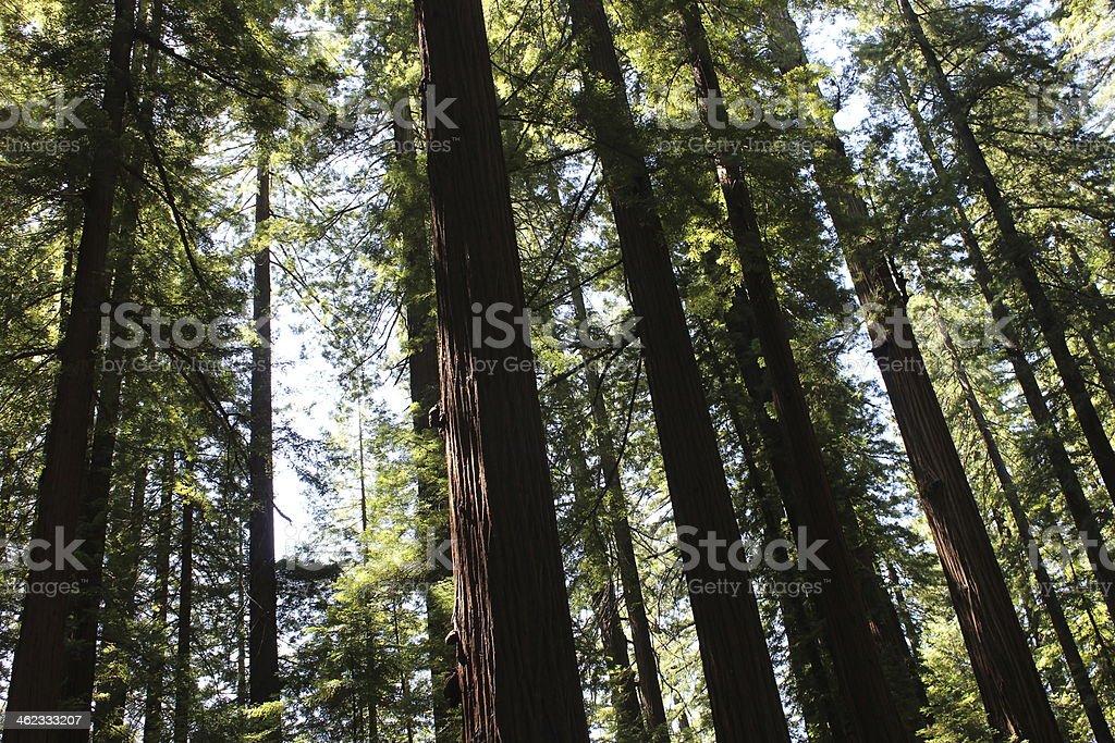 Coast Redwood Trees stock photo