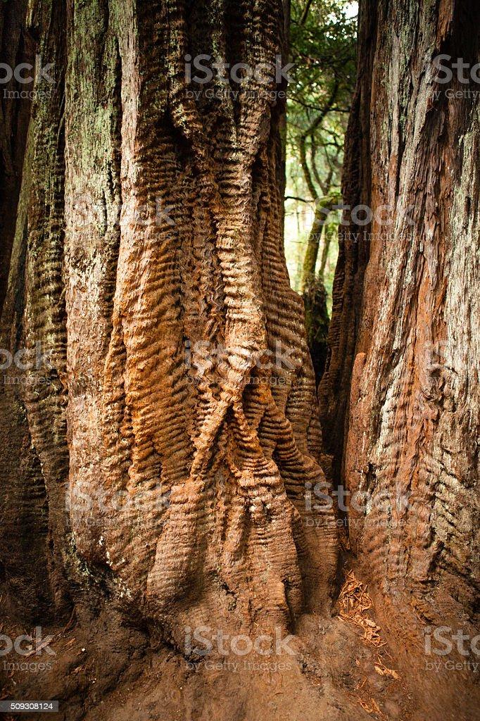 Coast Redwood With Wavy 'Braided' Bark, Big Basin State Park royalty-free stock photo
