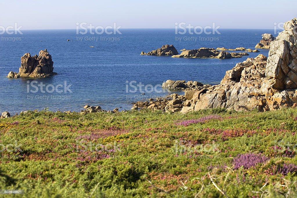 coast rose stock photo