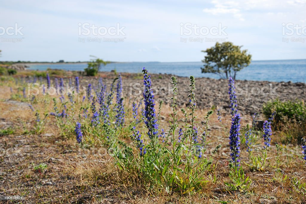 Coastal blue-weed flowers stock photo