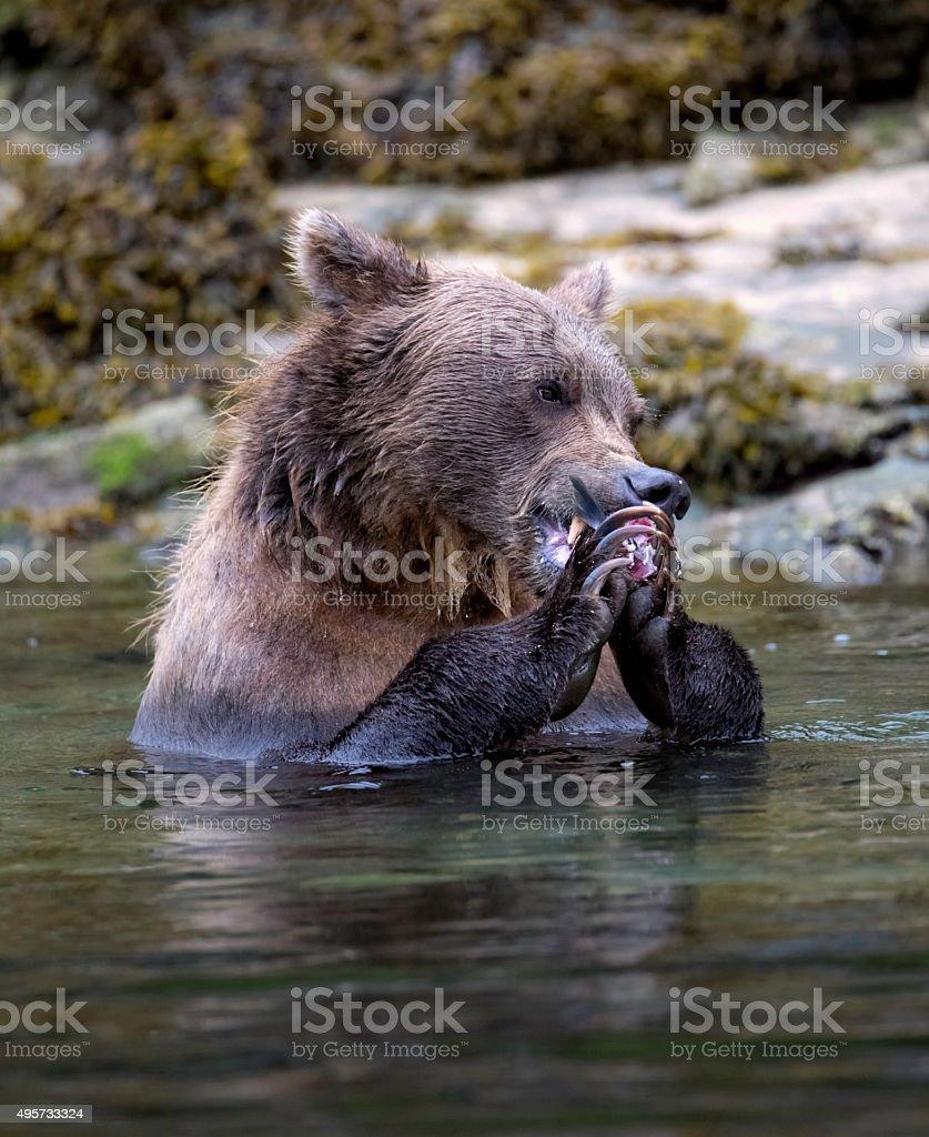 Coastal Brown Bear Eating Salmon stock photo