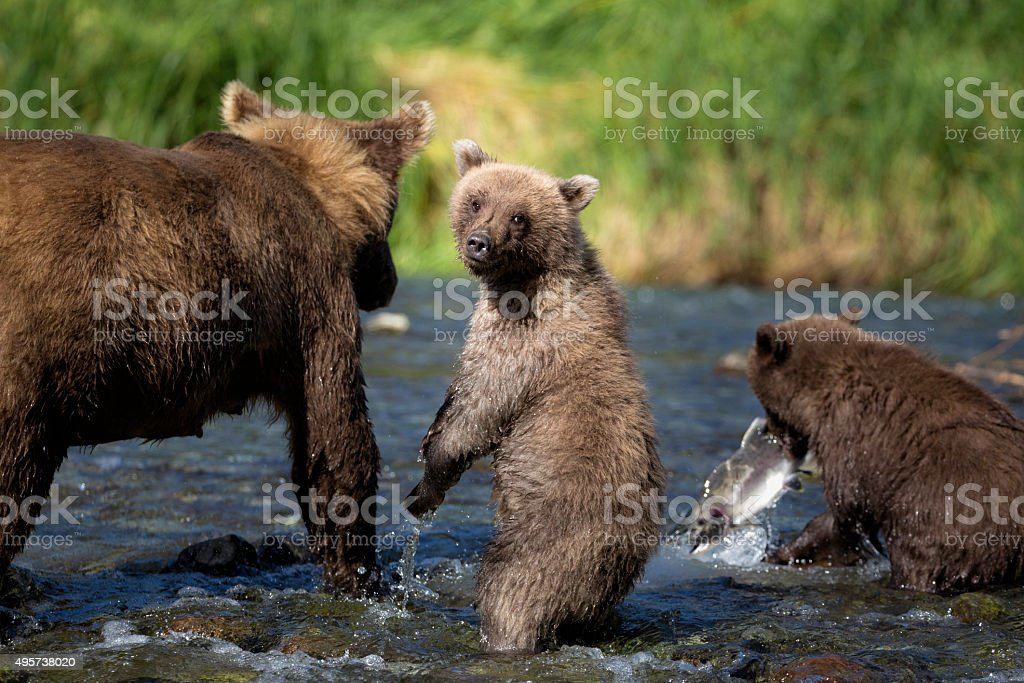 Coastal Brown Bear Family stock photo