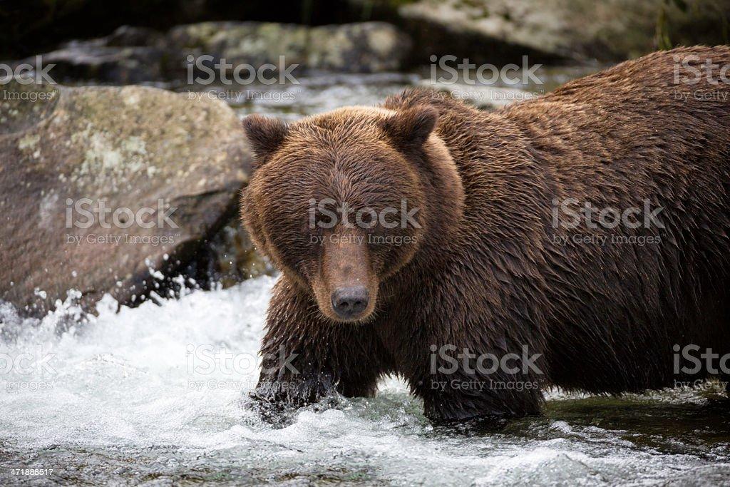 Coastal Brown Bear royalty-free stock photo