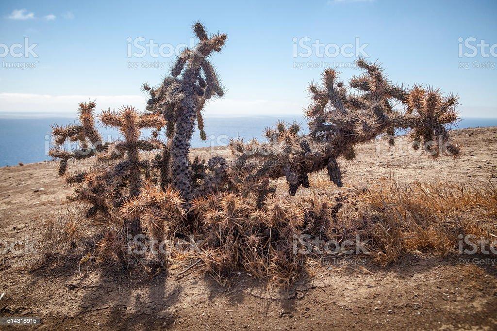 Coastal cholla growing on Catalina Island royalty-free stock photo