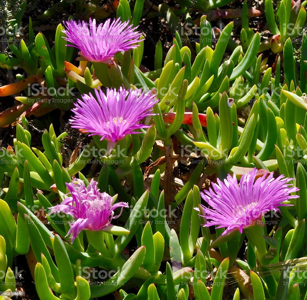 Coastal Pigface Wildflower stock photo