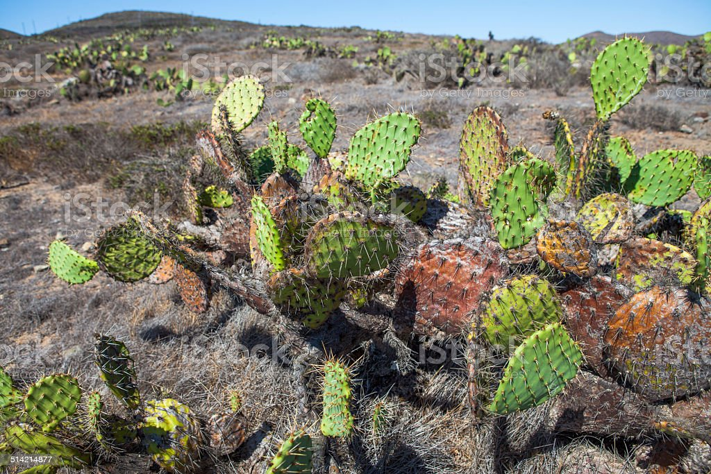Coastal prickly pear cactus plants growing on Catalina Island, California royalty-free stock photo