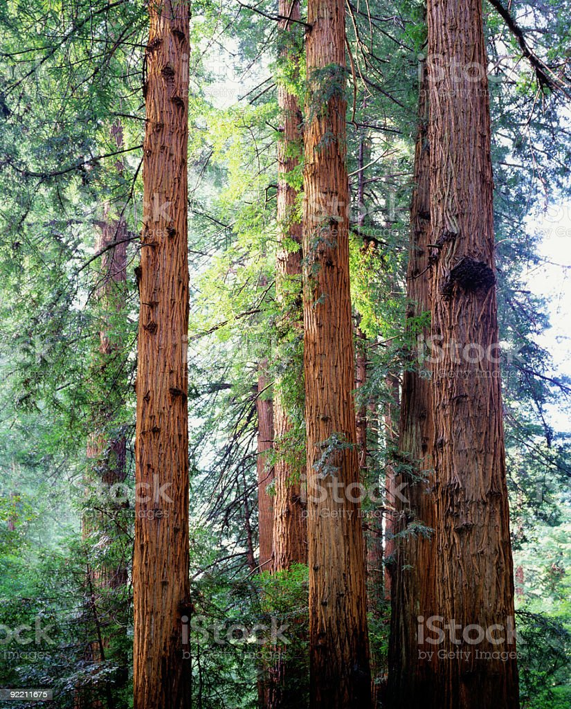 Coastal Redwood Trees Muir Woods California stock photo