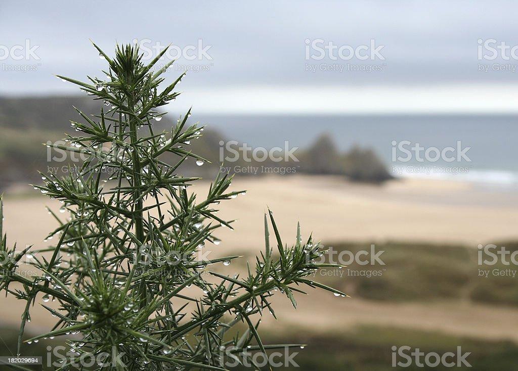 coastal thistle on beach royalty-free stock photo