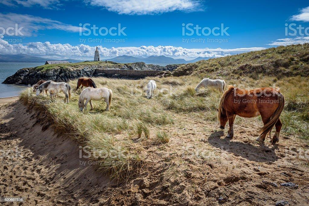 Coastal Wild Horses stock photo