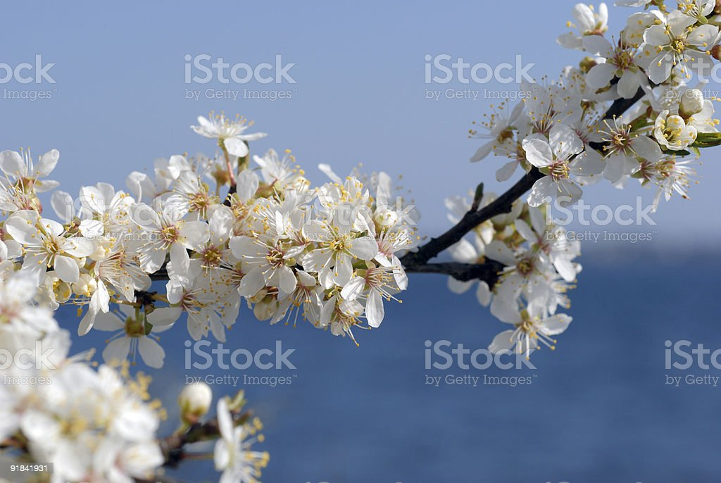 Coastline hawthorn stock photo