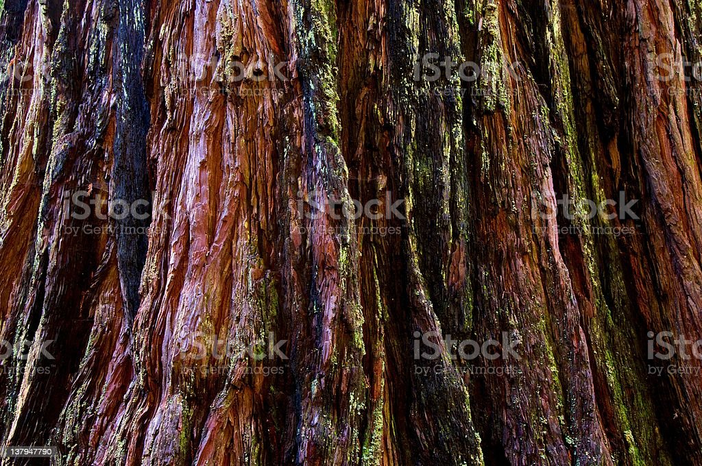 Coatal Redwood Tree royalty-free stock photo