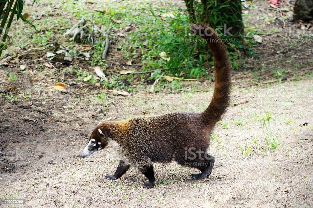 coatimundi, Nasua narica stock photo